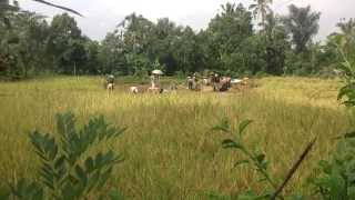 Bali Harvest - The Fields are Ripe for the Salvation of Jesus