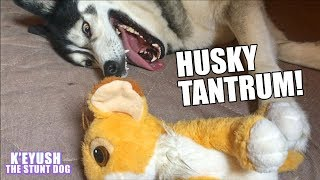 Husky Throws A Tantrum!