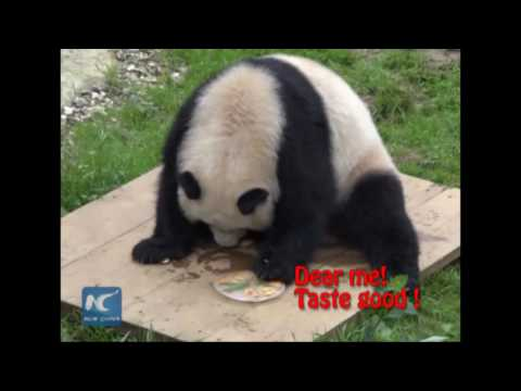 Giant panda ruins buddy