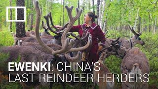 The last reindeer herders: China's ethnic minority Ewenki keep a centuries-old tradition alive