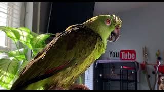 Video viral de mi loro/3millones de vistas/loro llorando porque lo bañaron/loro llorando/loros