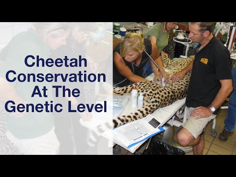 Cheetah Conservation At The Genetic Level