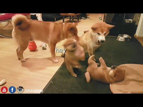 oh mai hevans! MLIP / Ep 59 / Shiba Inu puppies