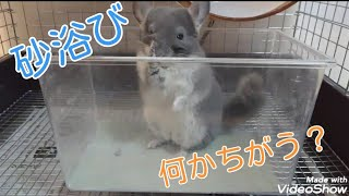 【チンチラ】 砂浴びの入れ物を変えるとどうなる? Dust …