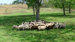 boya farm(japan) working sheepdog http://www.netbeet.ne.jp/~boya/