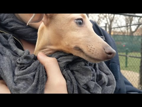 Our Italian Greyhound Puppy Goes To The Dog Park For The FIRST TIME!