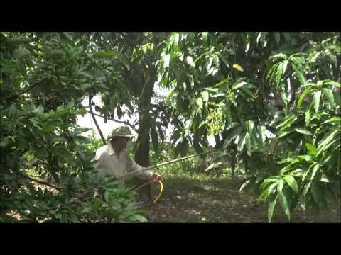 #1 MANGO PLANTATION-Hoa Loc, VIETNAM