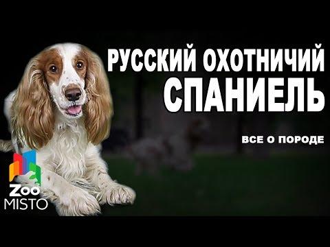 Характеристика породы русский спаниель, особенности характера, ухода и содержания