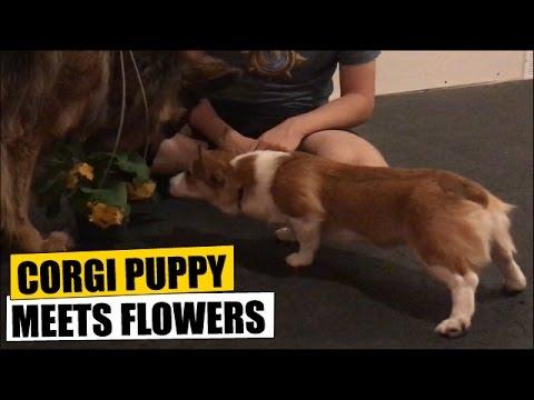 Corgi Puppy Meets Flowers