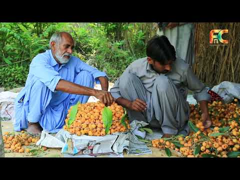 loquat-gardens-|-kallar-kahar-valley-pakistan-|-pakistani-fruits|-benefits-of-loquat-in-urdu|-fnctv