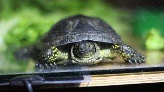Черепаха аха болотная