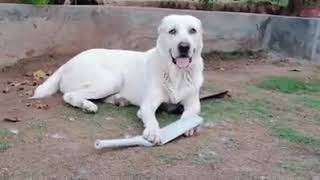 Beautiful white afghan kuchi dogs