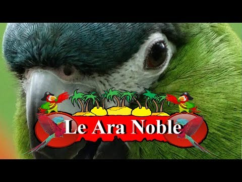 Le Ara Noble Ou Ara Hahn's, Diopsittaca Nobilis? Un Amour De Perroquet.