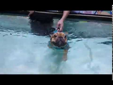【Pet's Swimming Pool】 Challenge accepted!  \\\ ٩( ˘ω˘ )و //// #FrenchBulldog #Frenchie
