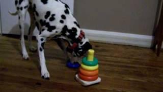 Amazing Dog Tricks-olivia Deaf Dalmatian