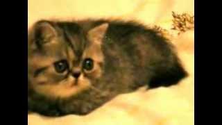Котик Экзотический короткошерстный.MOV