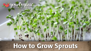 How to Grow Organic Sprouts For Healthy Living
