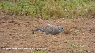 Juvenile Turtle Dove in Staple, Kent