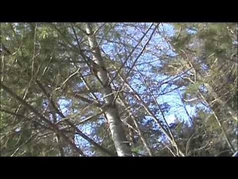 Chickadee songs