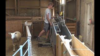 Contention : Des ovins bien maintenus par une pince à pédale