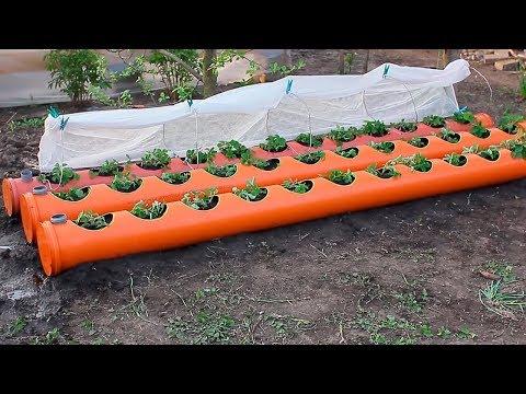 Урожай клубники в