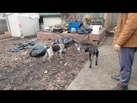 GWP & DD pups