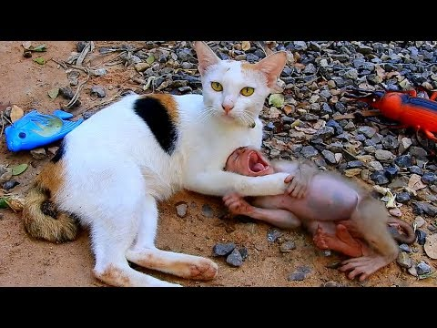 So Adorable Very Funny Monkey Midi Playing With Cute Cat