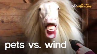 Pets vs The Wind