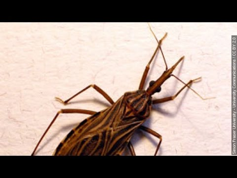 Kissing Bugs infect a dozen in Texas