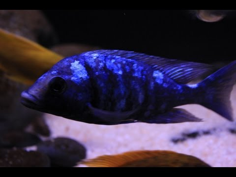 Placidochromis sp. 'Phenochilus Tanzania' - The Star Sapphire Cichlid  1080 HD