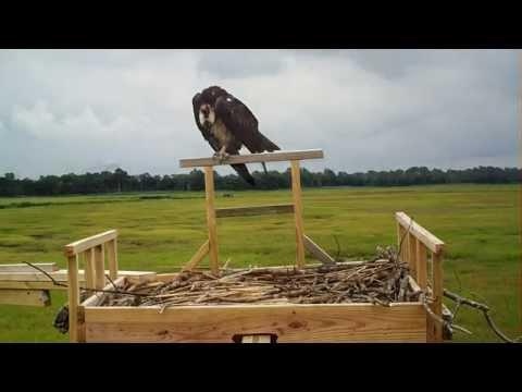 The Loudest Osprey Contest on DeNest