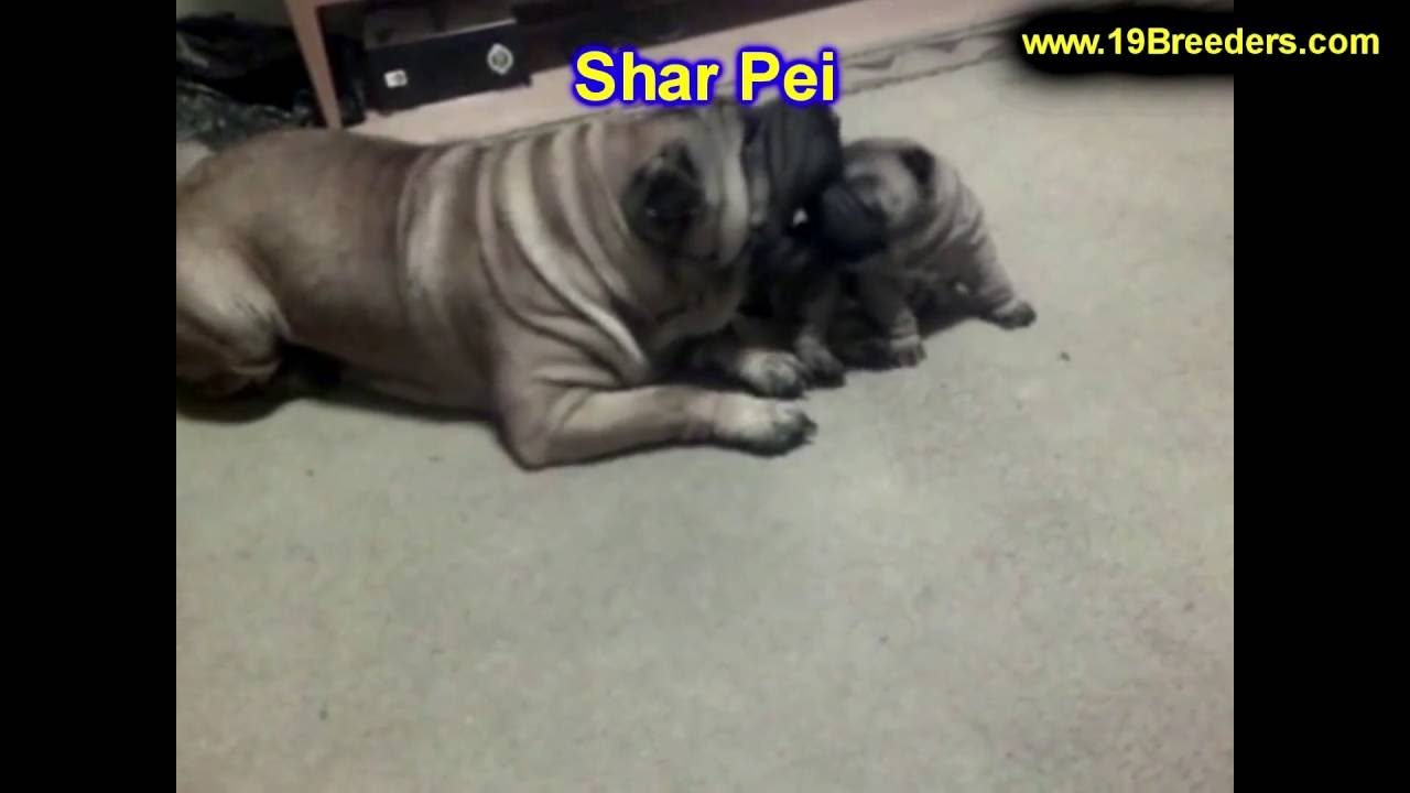 shar pei puppies dogs for sale in new york new york