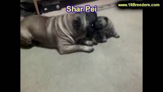 Shar Pei, Puppies , For, Sale, In Staten Island, New York, Ny, Brooklyn, County, Borough