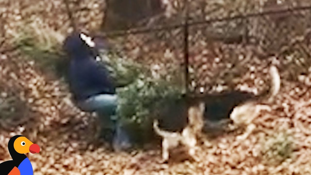 Dogs Don't Want Dad To Throw Away Christmas Tree