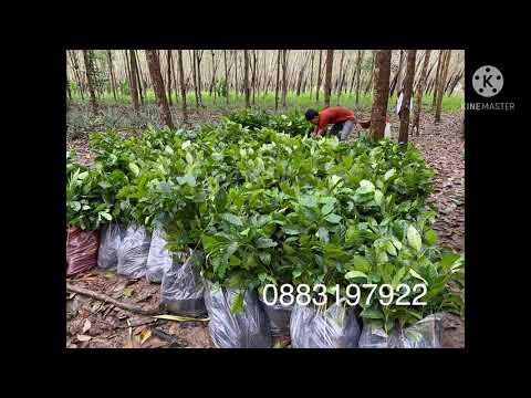 ขายต้นกาแฟออนไลน์ อาราบิก้า โรบัสต้า ส่งทั่วไทย โทร088-3197922