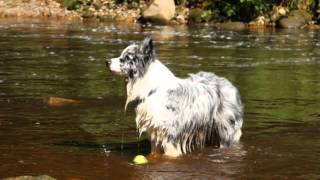 Blue Merle Border Collie Dog Duke's Dream.