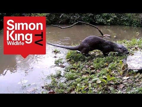 Rare Daylight Footage of an Otter Sprainting