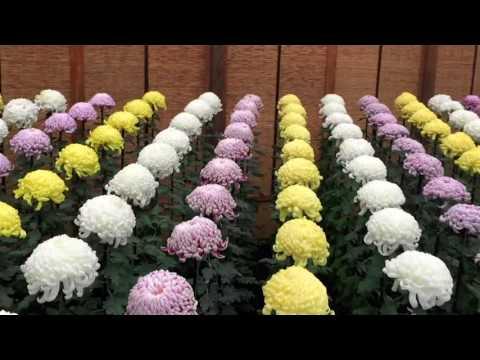 Chrysanthemum Display in Tokyo