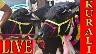 LIVE COVERAGE OF KURALI MANDI PUNJAB INDIA I MURRAH HARYANA I HOLSTEIN FRIESIAN COW FROM PUNJAB