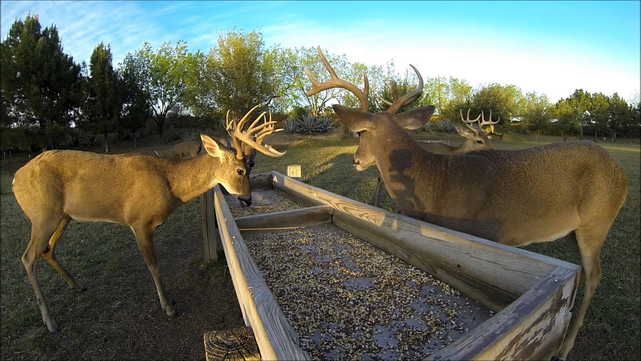 White Tailed Deer At Feed Trough La Bota Ranch Youtube