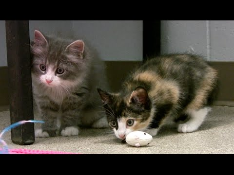 One Tough Kitten - one shelter kitten likes to play rough with his sisters