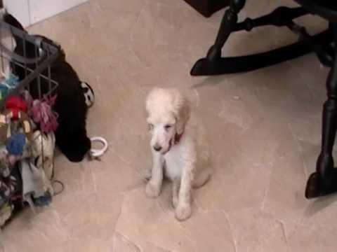 Cream standard poodle puppies