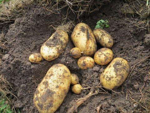 видео: Выращивание картофеля под соломой (growing potatoes under straw)