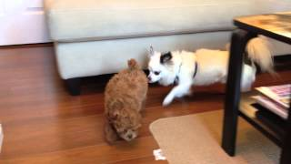 Bebexo's Chihuahua Is Obsessed With New Puppy