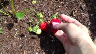 Gardening Tip - How to Pick the Ripest Tastiest Strawberries