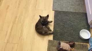 Cairn Terrier Puppy Fined Her Tail For The First Time