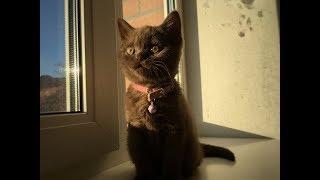 Купил британского котенка