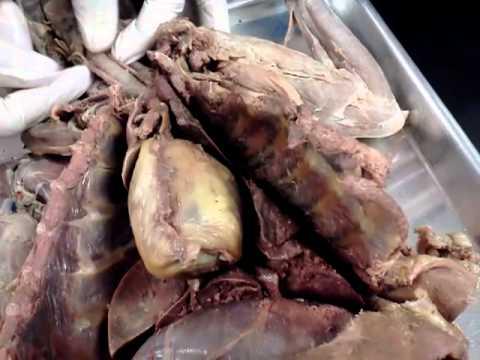 Cat Dissection Gallbladder