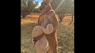 ウサギのぬいぐるみを手放さないカンガルーが飼育員をボコる ウサギのロ...