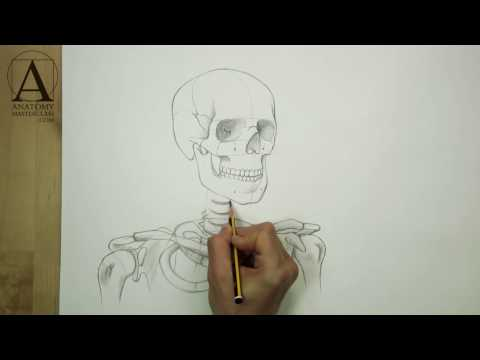 Head Neck and Shoulders Skeletal Anatomy for figurative artists